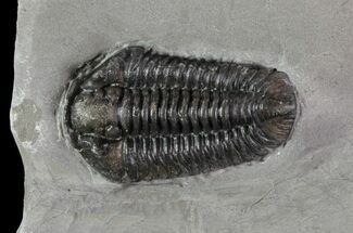 "1.25"" Calymene Niagarensis Trilobite - New York For Sale, #68384"