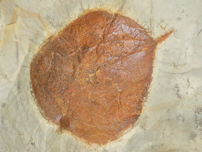 "1.4"" Detailed Fossil Leaf (Zizyphoides) - Montana"