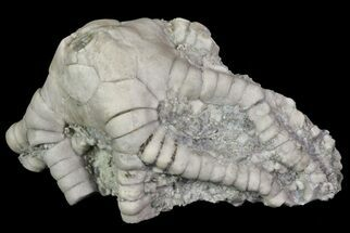 "Bargain, 1.6"" Barycrinus Crinoid Fossil - Crawfordsville, Indiana For Sale, #68486"