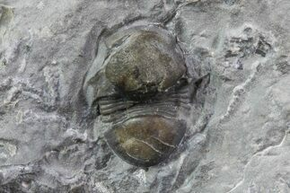 Bumastus ioxus - Fossils For Sale - #68517