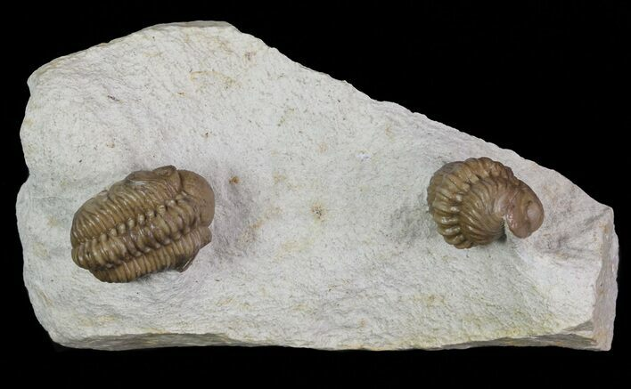Excellent Kainops Trilobite Pair - Black Cat Mountain, Oklahoma
