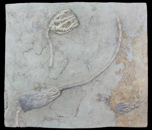 Three Species of 3D Crinoids On One Plate - Crawfordsville, Indiana