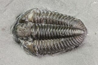 "Buy .7"" Calymene Niagarensis Trilobite - New York - #68395"