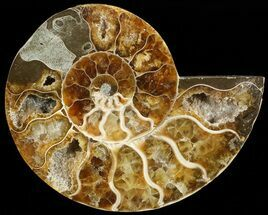 Cleoniceras - Fossils For Sale - #68811