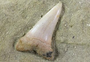 "Buy 1.3"" Mako Shark Tooth Fossil On Sandstone - Bakersfield, CA - #69001"