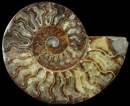 "Buy 6.2"" Cut Ammonite Fossil (Half) - Agatized - #69043"