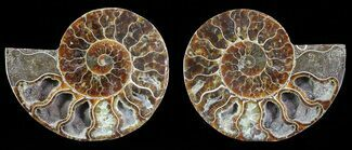 Cleoniceras - Fossils For Sale - #68853