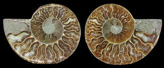 Cleoniceras - Fossils For Sale - #68859