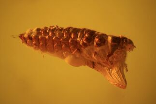 Buy Fossil Beetle Larva (Coleoptera) In Baltic Amber - #69223