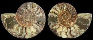 Cleoniceras - Fossils For Sale - #69015