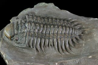 "2.65"" Crotalocephalus Trilobite With Axial Nodes - Jorf, Morocco For Sale, #66935"