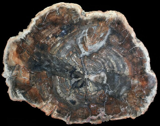 "18.75"" Colorful Petrified Wood Round - Madagascar"