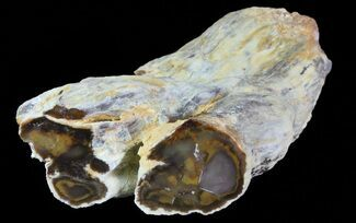 "4.7"" Petrified Wood Limb (Bald Cyprus) - Saddle Mountain, WA For Sale, #69449"