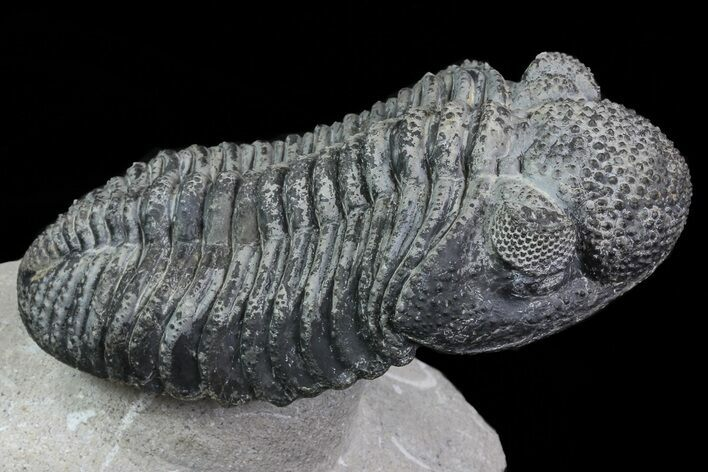 "5.3"" Drotops Trilobite With White Patina - Killer Specimen"