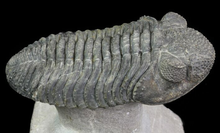 "3.7"" Drotops Trilobite With White Patina - Beautiful!"
