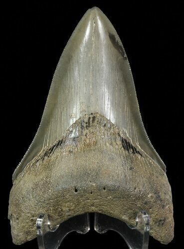 "Serrated, 4.42"" Lower Megalodon Tooth - Georgia"