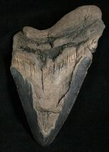 "Bargain 5.29"" Megalodon Tooth For Sale, #5615"