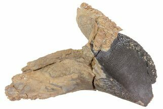 "Buy 1.75"" Rooted Triceratops Tooth - South Dakota - #70138"