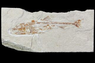 Eurypholis boissieri - Fossils For Sale - #70431