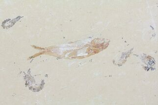 "4.4"" Fossil Fish & Four Shrimp (Pos/Neg) - Lebanon For Sale, #70451"