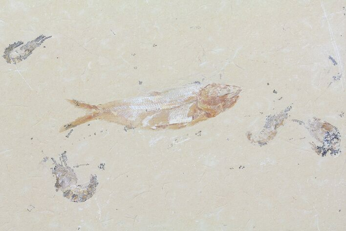 "4.4"" Fossil Fish & Four Shrimp (Pos/Neg) - Lebanon"