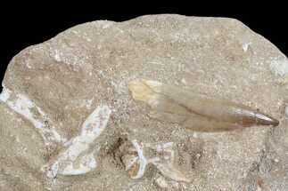 "1.8"" Fossil Plesiosaur (Zarafasaura) Tooth In Sandstone - Morocco For Sale, #70316"