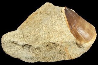 "1.3"" Mosasaur (Prognathodon) Tooth In Rock For Sale, #70457"