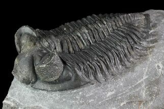 "Buy 2.4"" Coltraneia - Bug Eyed Trilobite - #70078"