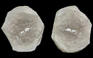 "Buy .6"" Unidentified Fossil Shrimp (Pos/Neg) - Mazon Creek - #70609"
