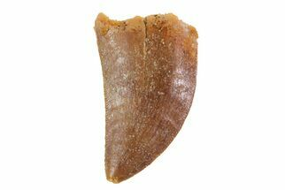 ".95"" Juvenile Carcharodontosaurus Tooth - Real Dinosaur Tooth For Sale, #70961"