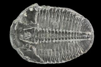Elrathia kingii - Fossils For Sale - #71043