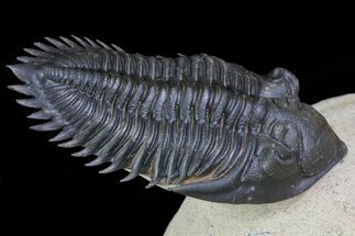 Metacanthina issoumourensis - Fossils For Sale - #71193