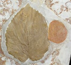 Buy Two Paleocene Fossil Leaves (Davidia & Zizyphoides) - Montana - #71512