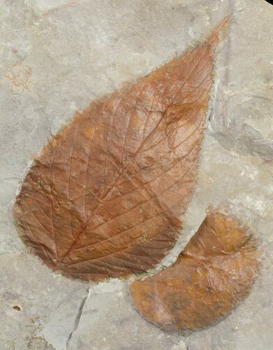Two Paleocene Fossil Leaves (Celtis & Zizyphoides) - Montana