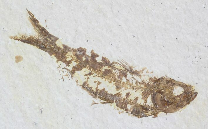 "2.9"" Knightia Fossil Fish - Wyoming"