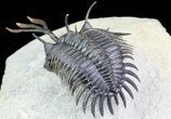 "2.9"" Trident"" Walliserops Trilobite - Flying Preparation - #71709-6"