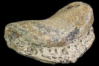 "Buy 3.2"" Ceratopsian Dinosaur Toe Bone - Alberta (Disposition #000028-29) - #71704"