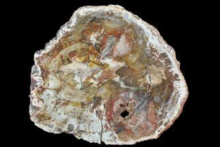 "Buy 10.4"" Colorful Petrified Wood (Araucaria) - Madagascar  - #71890"