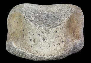 "Buy 2.1"" Hadrosaur Toe Bone - Alberta (Disposition #000028-29) - #71659"