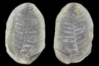 "2.9"" Pecopteris Fern Fossil (Pos/Neg) - Mazon Creek For Sale, #72371"