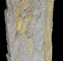 "Buy 8"" Wide Eocrinoid (Ascocystites) Plate - Ordovician - #72100"