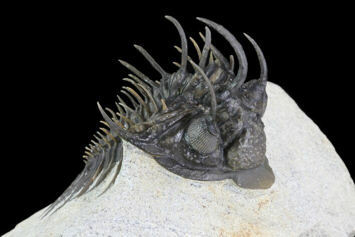 "2.2"" Spiny Comura Trilobite - Excellent Preparation"