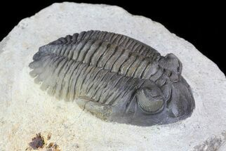 "Buy 2.1"" Multi-Colored Hollardops Trilobite - Great Eye Facets - #73021"