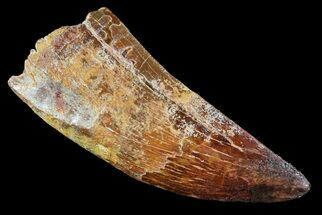 "Buy Robust, 2.81"" Carcharodontosaurus Tooth - Restored Tip - #73072"