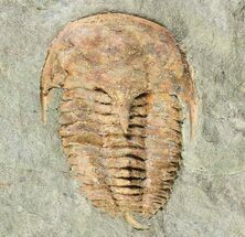 Kingaspidoides? - Fossils For Sale - #73005