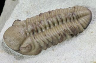 "Buy .8"" Kainops Trilobite - Black Cat Mountain, Oklahoma - #73285"
