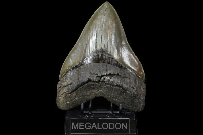 "Serrated, 6.11"" Megalodon Tooth - Collector Specimen!"