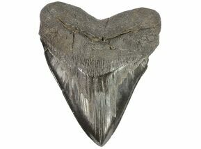 "Huge, 6.03"" Fossil Megalodon Tooth - South Carolina For Sale, #73832"