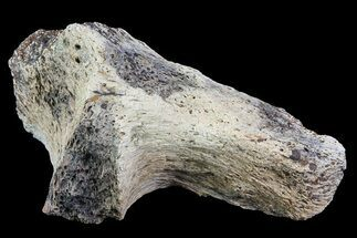 "Buy 3.2"" Triceratops Bone Section - North Dakota - #73933"