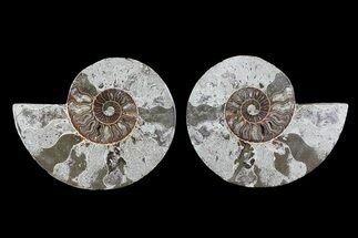 "Bargain, 6"" Cut & Polished Ammonite Pair  For Sale, #73949"